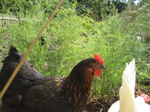 The chickens and ducks provide nutritious organic eggs for our baking and breakfasts.